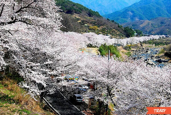 Hwagae Cherry Blossom (20)