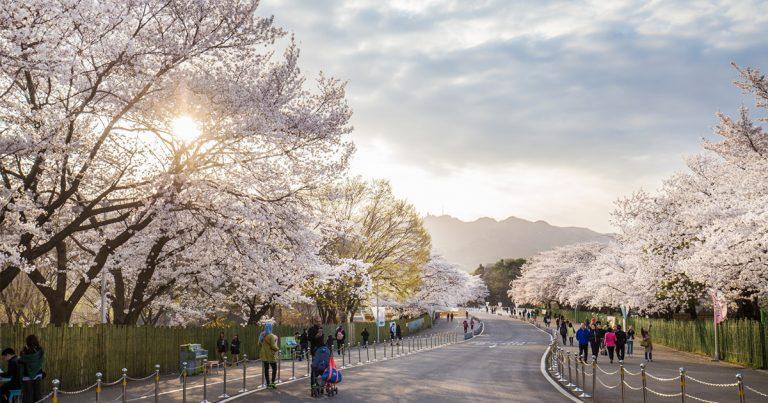 Top 5 Cherry Blossom Festivals in Seoul